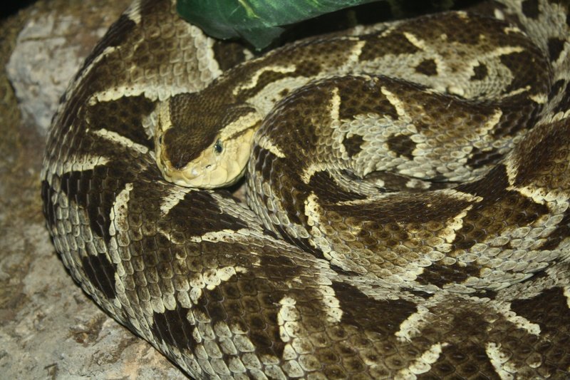 Diamond-back Rattlesnake