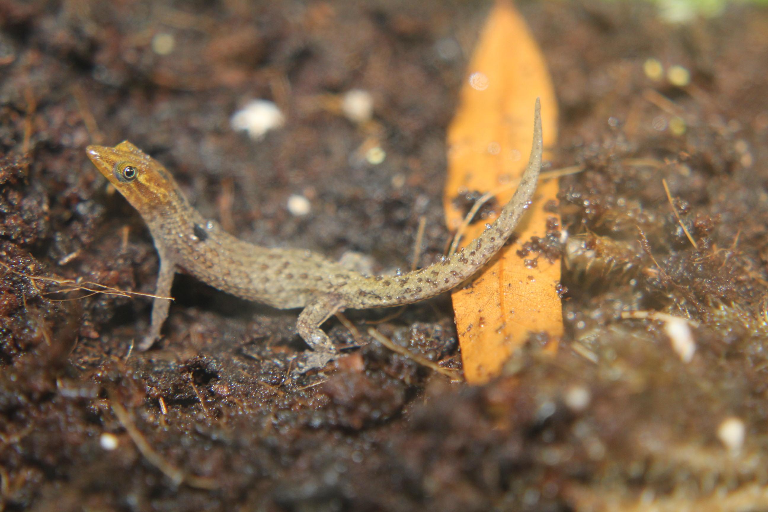 Sphaerodactylus macrolepis
