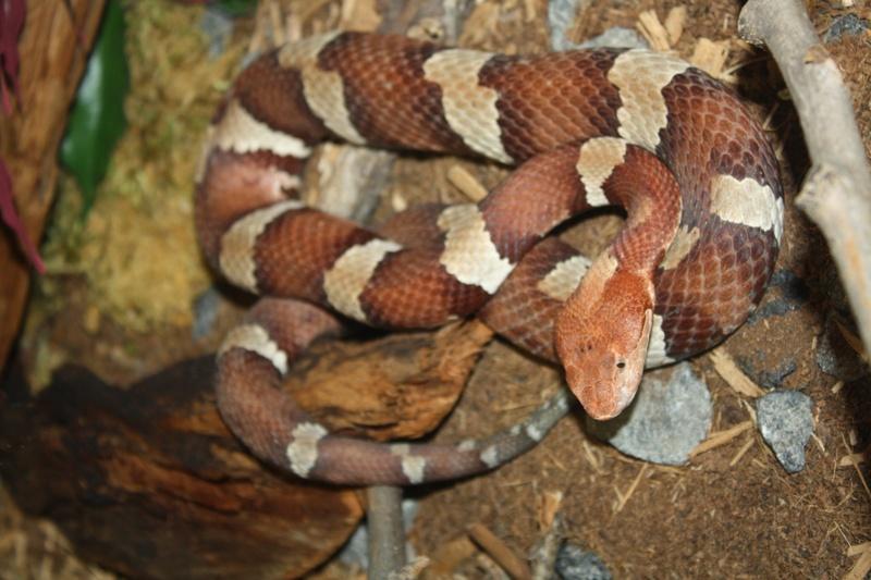 Agkistrodon contortrix, Copperhead
